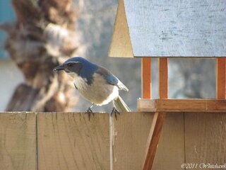 Mr Bluejay