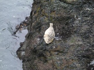 Adorable Harbor Seal at Depoe Bay