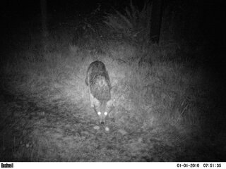 Coyote pictures taken with trail camera