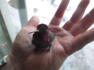 Saving Chrip Chirp the Hummingbird