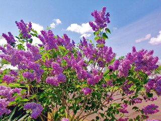 I Love Spring-My Lilac Bush