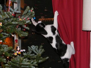 Cookie Conquers the Christmas tree!