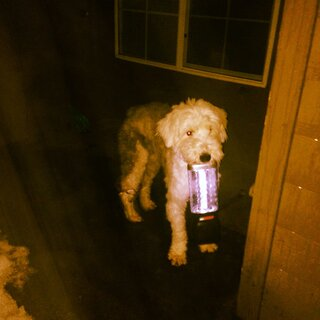 Dog carries lantern