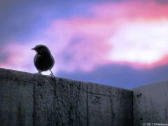 Sparrow on a Fence