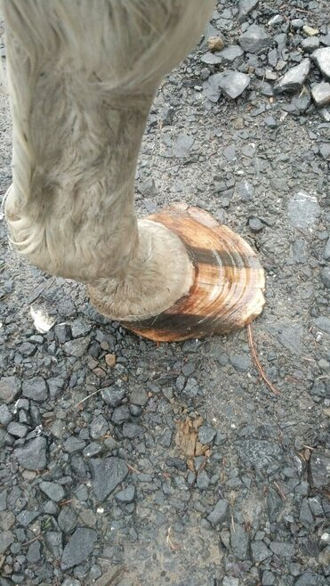 Photo of one of the horses hooves that is in serious need of a trim