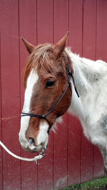 This emaciated gelding is one of the horses seized in a neglect case out of Curry County.