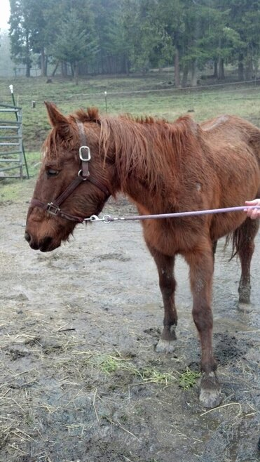 This photo from Strawberry Mountain Mustangs shows one of the skinny horses seized in a Curry County negelct case
