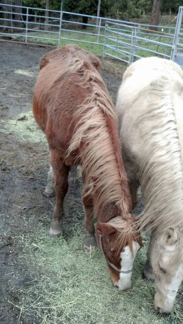 Two of the horses seized in Curry County getting some hay at Strawberry Mountain Mustang horse rescue