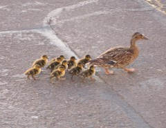 Ducklings on parade