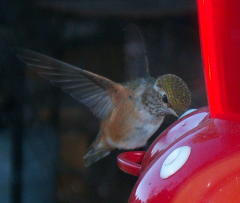 Humming birds close up