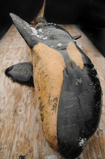 Baby Orca found on beach