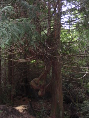 Cedar Tree probably hit by lightning