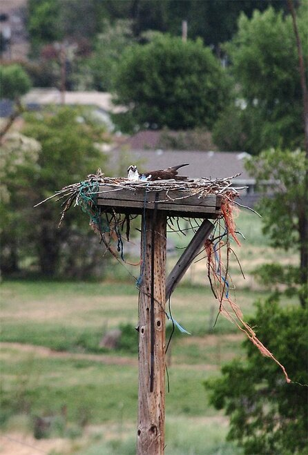 Ospreys-Fatal Nest