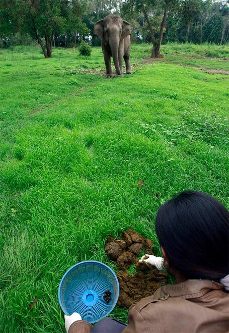 Thailand Elephant Coffee