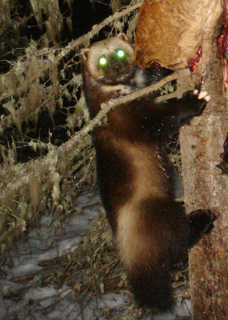 Wolverines in Oregon