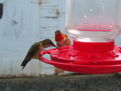 Humming birds outside my window