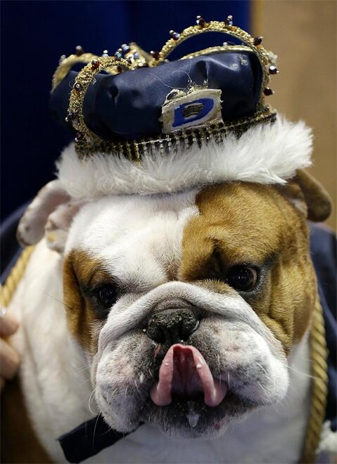 Beautiful Bulldog