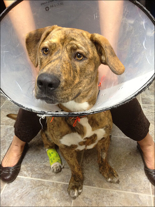 Dog rescued after botched surgery