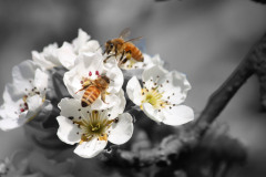 Honey Bees and Pear Blossoms