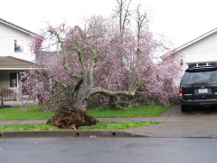 Flowering Plum down North Eugene