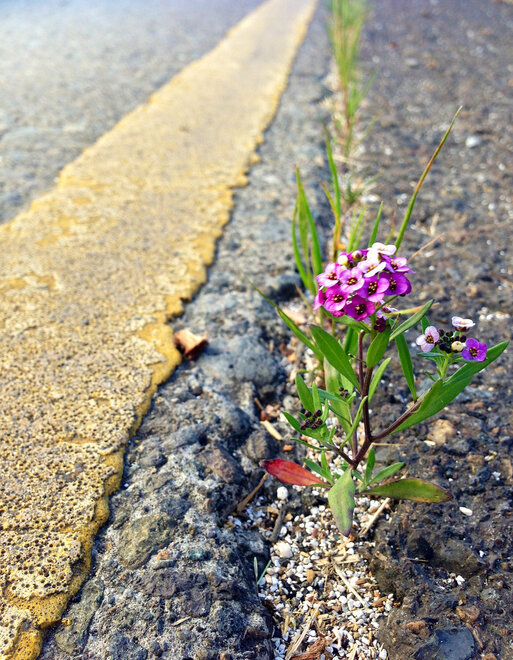 Flower growing on I-5 overcrossing in Albany - Chris Weigel