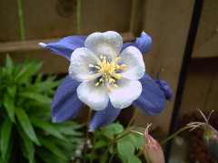 Columbine in the rain
