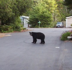 Local bear visits our street