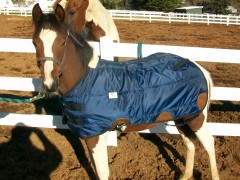 Baby horse and new Blanket
