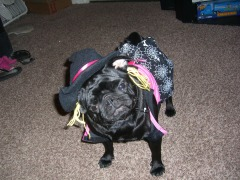 halloween pictures of mis piggy the pug