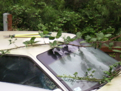 Blackberry bushes grow on car/clippers