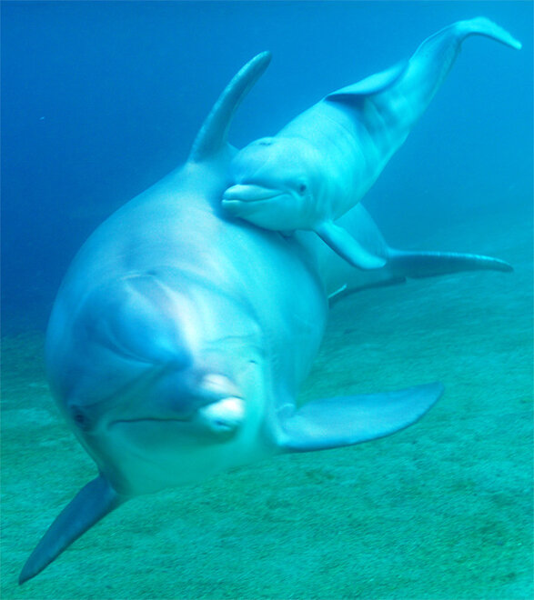 Dolphin Birth