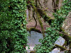 Ivy Covered Trees along the McKenzie Riv