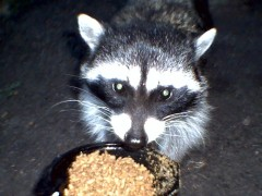 Kelly the Racoon