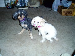Dolly & Louie my pets    POODLES