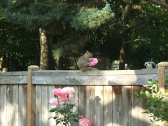 Squirrel with rose, must have hot date?