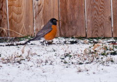 Backyard Robin in the Snow