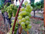 Weather makes for sweeter grapes and early harvest at Oregon wineries - 04
