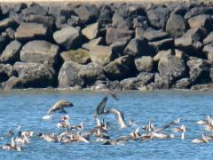 Pelicans on the Siuslaw