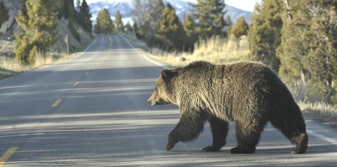 Hungry Grizzlies