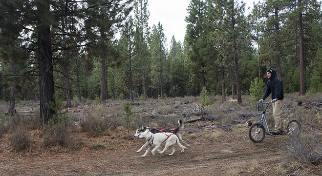 Sled dogs practice on dirt (5)