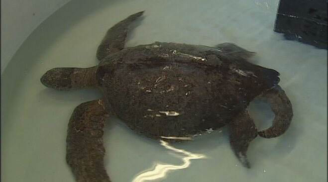 Sea turtle rescued from Oregon beach (8)