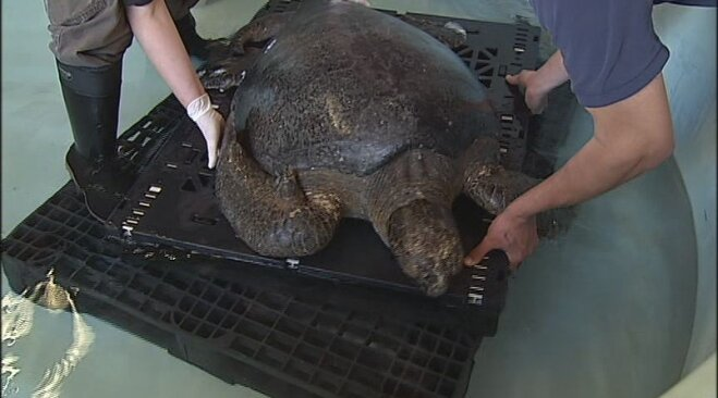 Sea turtle rescued from Oregon beach (9)