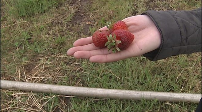 Strawberry season arrives a month early in 2013 (5)