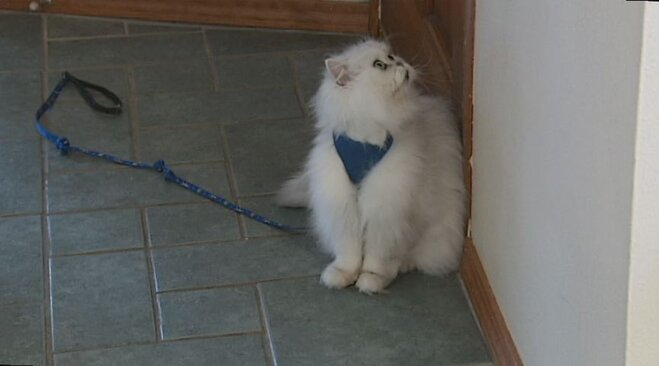 Cat asking to go for a walk
