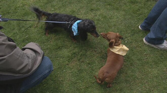 wiener dog races
