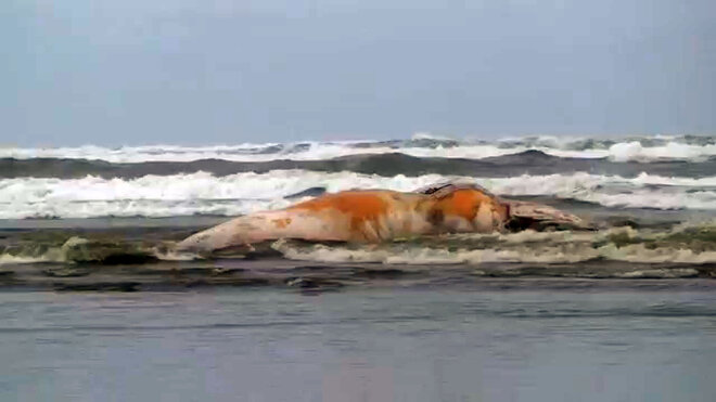 'It's really smelly:' A dead grey whale washes ashore in Seaside