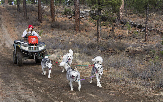Sled dogs practice on dirt (4)