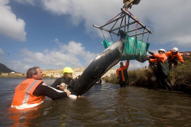 New Zealand Whales Stranded