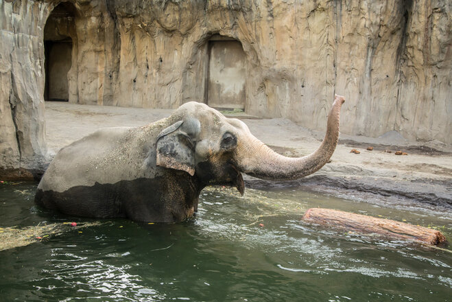 Swim trunk: Aging elephant hits the pool for morning swim