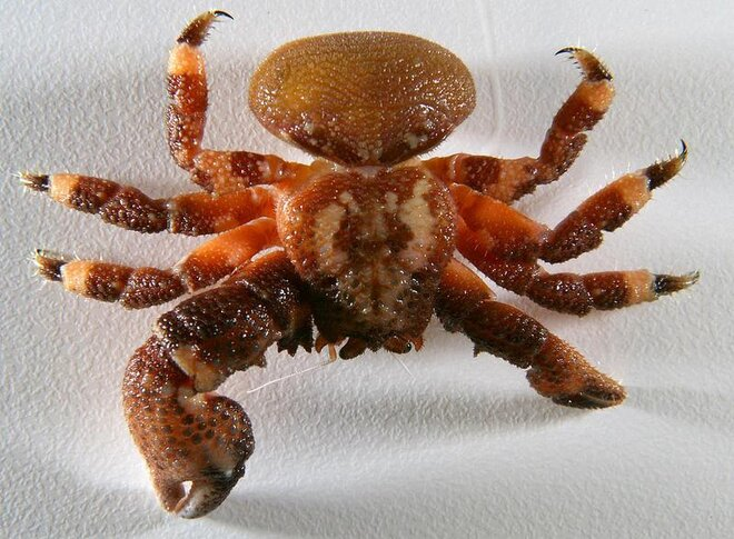 Lithodid crab